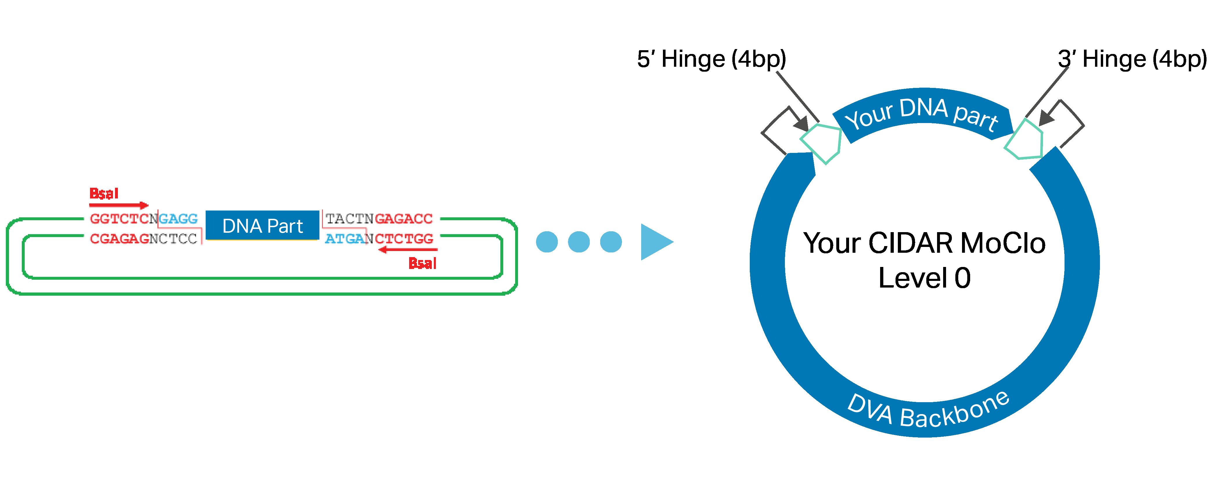 CIDAR MoClo Level 0